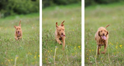 Wirehaired vizsla running through the grass